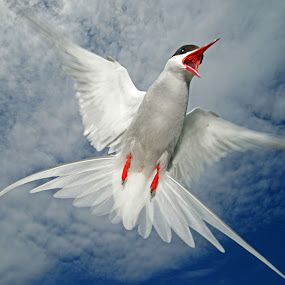 Arctic Tern defending its nest by Bob Rawlinson - Animals Birds