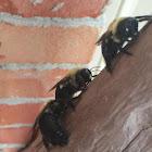 Eastern Carpenter Bees