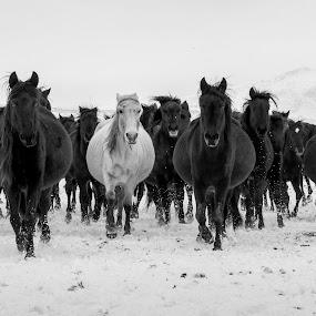 by Veli Toluay - Black & White Animals ( yılkı atları, atlar,  )