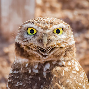 Burrowing Owl-47.jpg