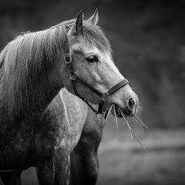 by Debbie Thiessen - Animals Horses ( horses, andalusian )
