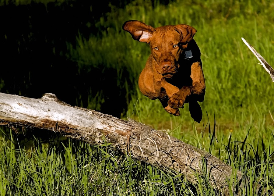 Jump! by Barna Tanko - Animals - Dogs Portraits ( pet, outdoors, dog, jump )