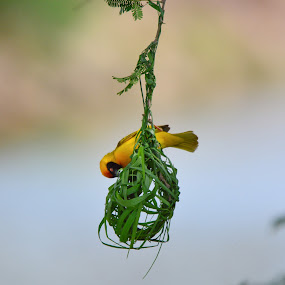 Weaver Bird building a nest by Diane Rogers Jones - Novices Only Wildlife (  )
