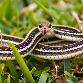 Ready to Strike by Barry Blaisdell - Animals Reptiles ( snake, yard, lawn, grass, reptile,  )