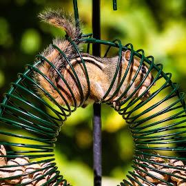 Chipmunk in Feeder by Dave Lipchen - Animals Other Mammals ( peanuts, chipmunk, feeder )