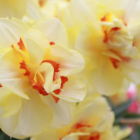 Flower by Hoang Nguyen Anh - Flowers Single Flower ( flowers, keukenhof, yellow, yellow flower, flower,  )