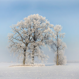 frosted trees by Virginijus Juozapavicius - Landscapes Prairies, Meadows & Fields ( winter, cold, snow, frost, trees )