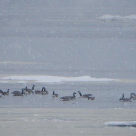 Geese in Freezing Water by Kristine Nicholas - Novices Only Landscapes ( stormy, icy, snowstorm, waterscape, snow storm, waterbirds, ocean, landscape, frozen, storm, flock, flying, cold, ice, snow, duck, weather, wet, sea bird, water, waterbird, ducks, snowy, sea, water birds, seascape, seabird, sea birds, snowing, water bird, seabirds, winter, fly, geese, goose,  )