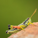 Post Oak Grasshopper