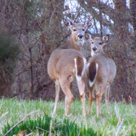 Whitetail deer  by Amanda Burton - Animals Other ( animals, nature, wildlife, deer )