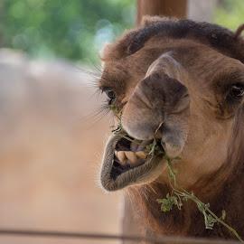 Chewing by Galina Popova - Animals Other Mammals ( mammals, camel, animals, chewing, photography )
