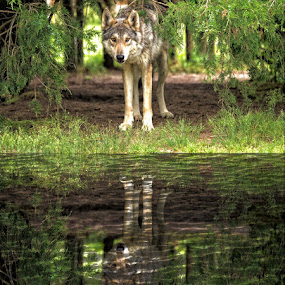 by Doreen Rutherford - Animals Other ( wolves,  )