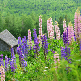 Lupine by Deanna Clark - Flowers Flowers in the Wild ( flowers, lupine,  )