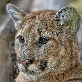 Cougar Cub by Carol Plummer - Animals Lions, Tigers & Big Cats