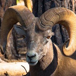 Bighorn Sheep by Mike Vaughn - Animals Other Mammals