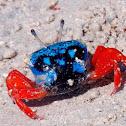 Thick-legged Fiddler Crab