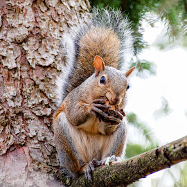 A Little Snack by Rick Touhey - Animals Other Mammals ( wallnut, nature, pine tree, snack, squirrel )