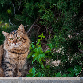 Lazy by Daniela Casuneanu - Animals - Cats Portraits ( big cat, cat, fluffy, green, brown, lazy )