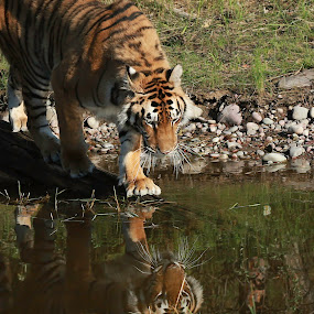 Reflection of a Siberian Tiger by Debbie Salvesen - Animals Lions, Tigers & Big Cats ( kalispell, siberian tiger, nature, tiger, animal photography, wildlife photography, june, montana, 2015, rescue, wildlife, rescued animal,  )