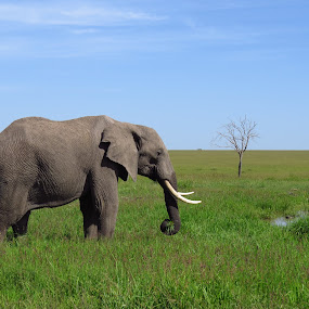 African Elephant, Maasai Mara National Reserve, Kenya by Mohamed Nasser - Animals Other Mammals (  )
