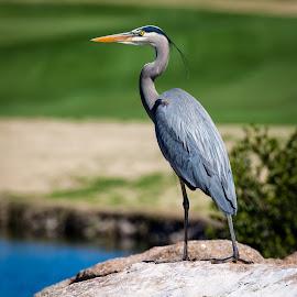 Great Blue Heron by Dave Lipchen - Animals Birds ( bird, great blue heron, rock, standing, water bird )