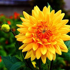 Epanouie by Gérard CHATENET - Flowers Flower Gardens