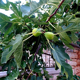 Fichi by Patrizia Emiliani - Nature Up Close Trees & Bushes ( fichi )