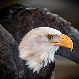Fly Like An Eagle by Bill Tiepelman - Animals Birds ( bird, eagle, nature, fly, wings, detailed, beak, bald eagle, wildlife, feathers, close-up )