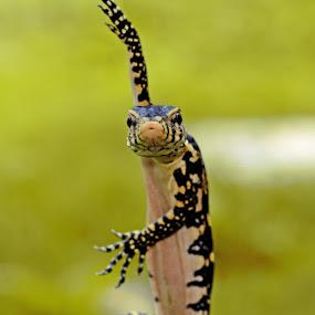 by Woe Hendrik husin - Animals Reptiles