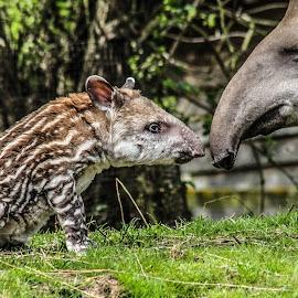 Nose to nose by Garry Chisholm - Animals Other Mammals ( garry chisholm, nature, tapir, wildlife, mammal )