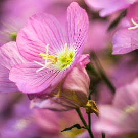 *** by DC Photos - Novices Only Flowers & Plants ( may, nature, pink, flowers, spring )