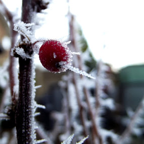 by Hayley Springall - Nature Up Close Other plants ( plant, frost )