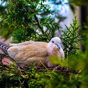 bird in nest by Alexandru Bogdan Grigore - Animals Birds ( bird, tree, nest, pine, spring )