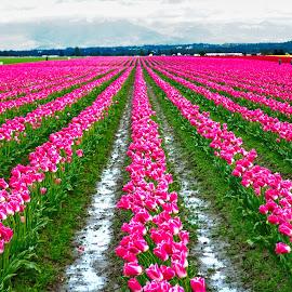 Soaking Sun and Rain by Jerry Donovan - Landscapes Prairies, Meadows & Fields ( washington, skagit valley, skagit valley tulip festival, white, two tone, pink, tuilips, mount vernon,  )