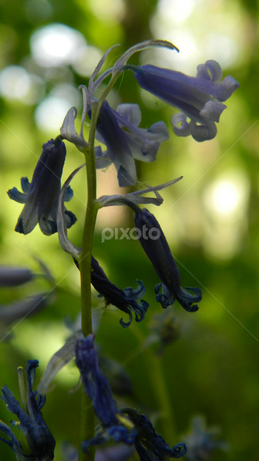 bluebell by Kelly Moore - Novices Only Flowers & Plants ( macro, forest, bluebell, nature, closeup )