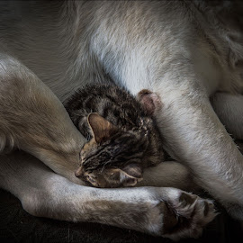 Big Brother by Rob Ebersole - Animals - Cats Kittens ( bengal kitten labrador dog cat puppy friends )