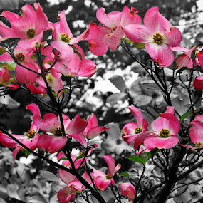 Spring Dogwood by Elaine Tweedy - Nature Up Close Gardens & Produce ( dogwood, spring colorful flowers, tree, flower )