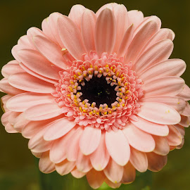 Black-Eyed Gerbera by Gillian James - Flowers Single Flower ( pink, close up, gerbera, black, flower )