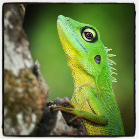Lizard 3 by Danang Sujati - Instagram & Mobile Instagram ( all_shoot, animals, animal, statigram, sintang, danangsujati, D90, followstagram, fauna, green, photooftheday, padepokankalisurut, primate, nikon, reptile, instagram, instagnation, indonesia, ig_nesia, instanusantara, instaphoto, instagood )