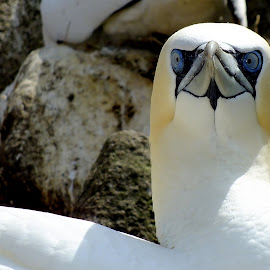 Gannet by Pat Somers - Animals Birds