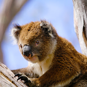 Wild Koala by Glenys Lilley - Animals Other Mammals ( koala, cape otway, australia, mammal, animal,  )