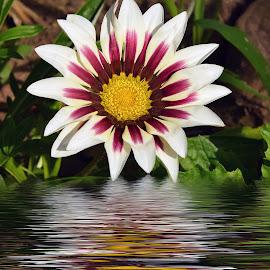 nice gazania by LADOCKi Elvira - Digital Art Things ( flowers )