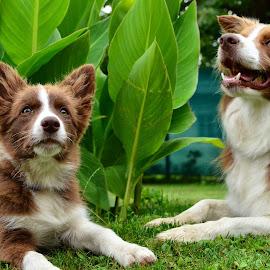 Amy in Lexi by Bojan Kolman - Animals - Dogs Portraits