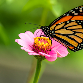 butterflower by Dale Youngkin - Animals Insects & Spiders ( close up, butterfly, single flower, garden, flower )