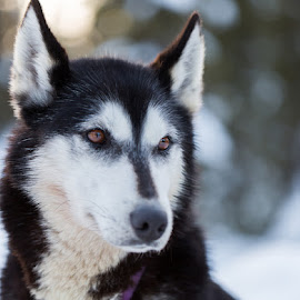 Husky 3 by Waldemar Dorhoi - Animals - Dogs Portraits ( husky, dog )
