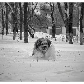 Running in the snow by Lucian Negoita - Animals - Dogs Running ( park, snow, white, dog, running )