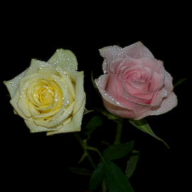 beautiful roses by LADOCKi Elvira - Flowers Flower Arangements ( nature, color, colorful, plants, summer, flowers, garden, floral )