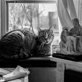 I want to go outside! by Joseph Martinez - Animals - Cats Portraits ( blackandwhite, cat, stock, black and white, cat portrait, nikon, portrait, animal )