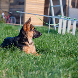 *** by Vladimir Gitkov - Animals - Dogs Puppies ( shepherd, puppy, dog, german shepherd, friend )