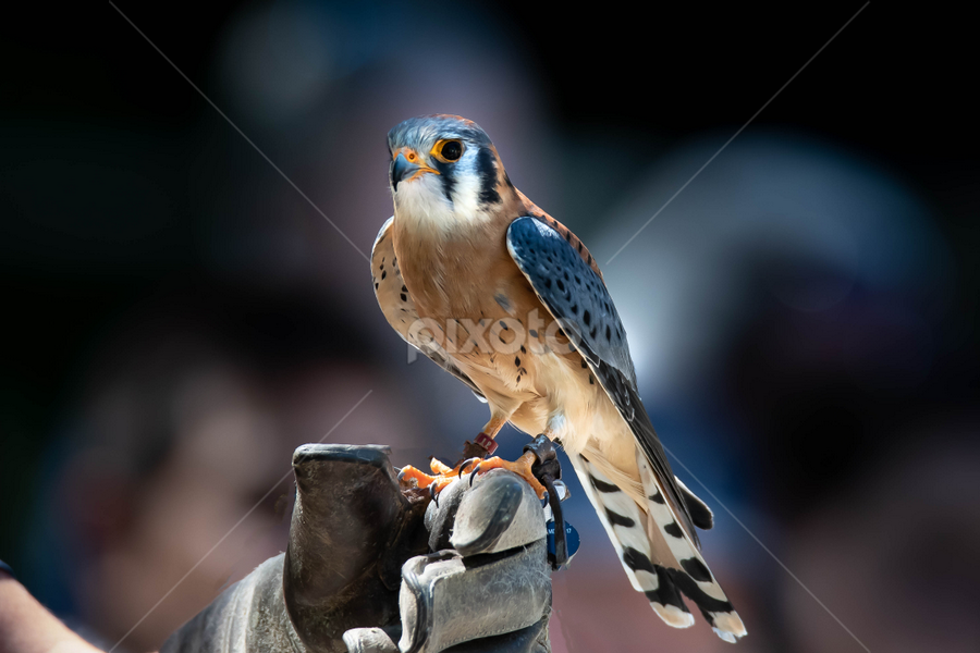 Kestrel by Darren Sutherland - Animals Birds